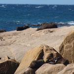 Palmerston - Shag Point - Four seals (Seehunde)