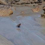 Westport - Oystercatcher (Austernfischer)