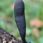 Xylaria longipes / Langstielige Ahorn-Holzkeule
