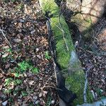 Eutypa spinosa Buchenstamm