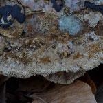Coriolopsis gallica