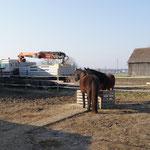 Der Sand ist da. Heute nehmen die Pferde das Lastauto schon gelassen !