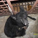 Des chiens blessés sans aucun soin vétérinaire