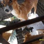 Les chiens sont obligés de manger les chiots pour survivre