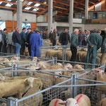 Marché aux moutons Centre la Margeride Saugues