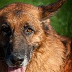 Urko, le papy chien...en famille d'accueil pour finir ses vieux jours...