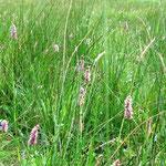 Der Schlangen-Knöterich wächst vor allem in Feuchtwiesen. (Foto: J. Streicher)