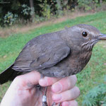 adultes Amsel Weibchen - 26.09.2013