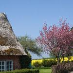 Frühlingsblüte und Reetdach in Nieby