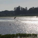 Pferde auf dem Weg zur Weide, El Rocio