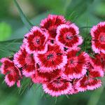 Bauernblumen