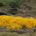 gelbe Blumen auf dem Küstenplateau