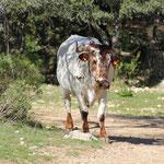 entgegenkommende Kuh bei Spaziergang