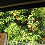 Orangen zum Pflücken vom Fenster aus