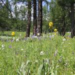 Blumenwiese im Altai