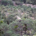 Geier auf Baum