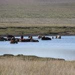 Pferde im See morgens
