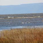 Schwäne im Baikal See