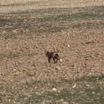 Fuchs auf dem Weg