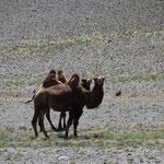 interessierte Kamele