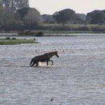Pferd auf der Wasserweide, El Rocio