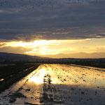 Reisfeld im Abendlicht