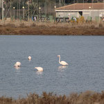 Flamingos in den Salinen