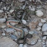 tote Schlange