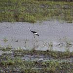 Wasservogel bei Carrasqueira