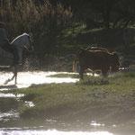 Viehtrieb durch den Fluss