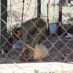 Schafschur bei Villaluenga de la Rosario