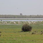 Flamingos am Standplatz, El Rocio