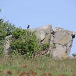 Krähe auf Felsen großer Feldberg
