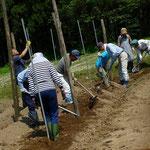 土を軽く踏んで、長いもを置く直線を作ります。
