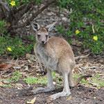 junges Känguruh