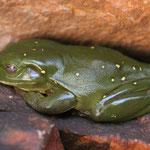 Frosch (lieber im Fels als in der WC-Schüssel)