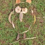 Eule, entstanden in Tad Lo, Laos