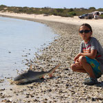 gestrandeter Hai