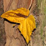 Herbstlich gefärbtes Blatt zum Schmetterling gezupft