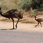 Emus in Exmouth