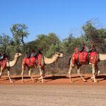 Kamele in Broom