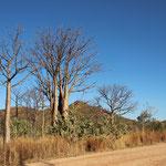 Baobabs entlang der Gibb River Road