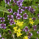 Grote tijm - Thymus pulegioides