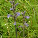 Blauwe bremraap - Orobanche purpurea