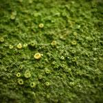 Er is maar 1 pek in Nederland waar deze Steenabrikoosjeskorst voorkomt, en dat is het bronnenbos.