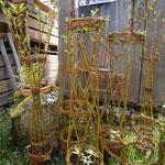 plusieurs tontines de différentes formes en osier vivant fin avril