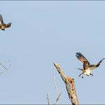 Habicht attackiert Fischadler 3