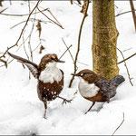 Wasseramseln im Schnee