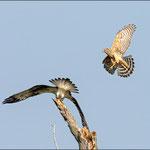 Habicht attackiert Fischadler 2