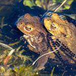 Erdkröten mit Laichschnüren